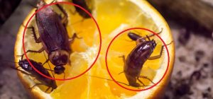 Cockroach control services dhaka